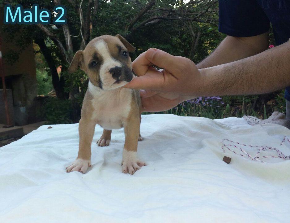 Američki stafordski terijer, vrhunski štenci na prodaju