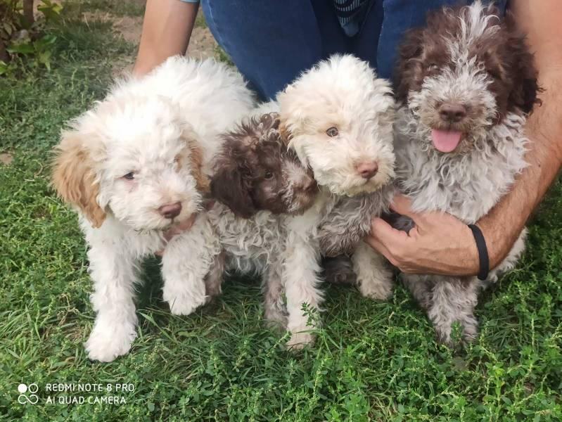 Lagoto Romanjolo štenci, divni i pitomi ljubimci na prodaju