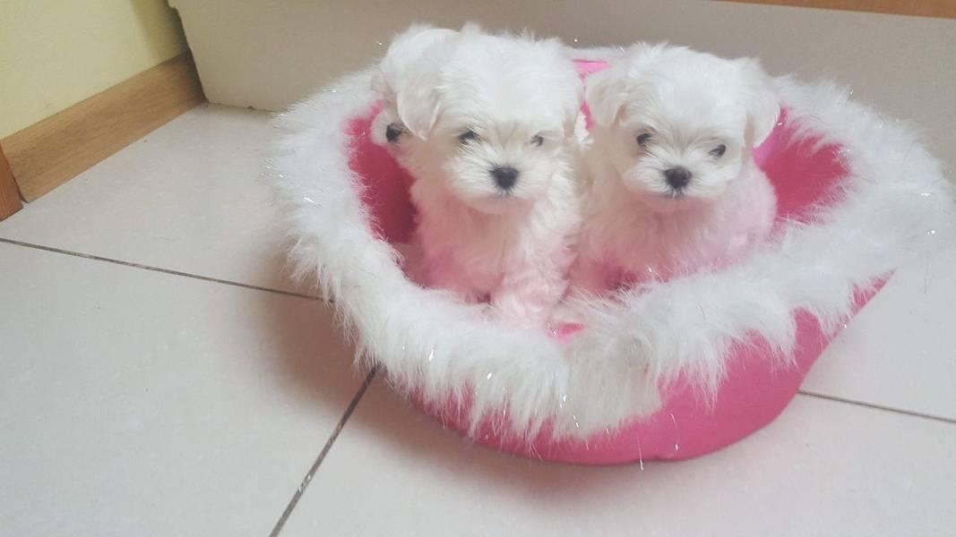 Kvalitetno registrirani malteški štenci.