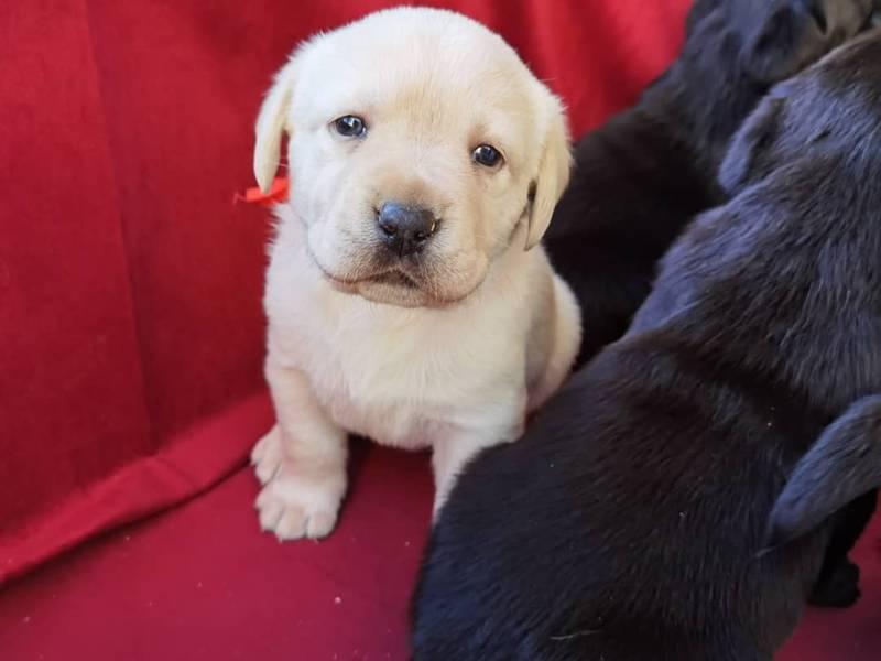 Na prodaju vrhunski štenci labradora
