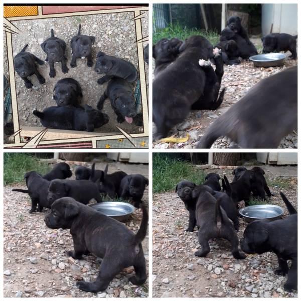 Stafordski bul terijer štenci na prodaju