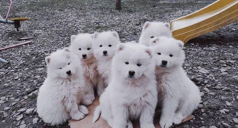Samojed štenci, izuzetnih krvnih linija