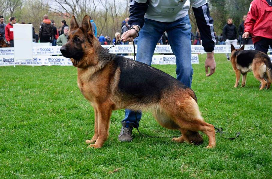 Na prodaju štenci Nemačkog Ovčara