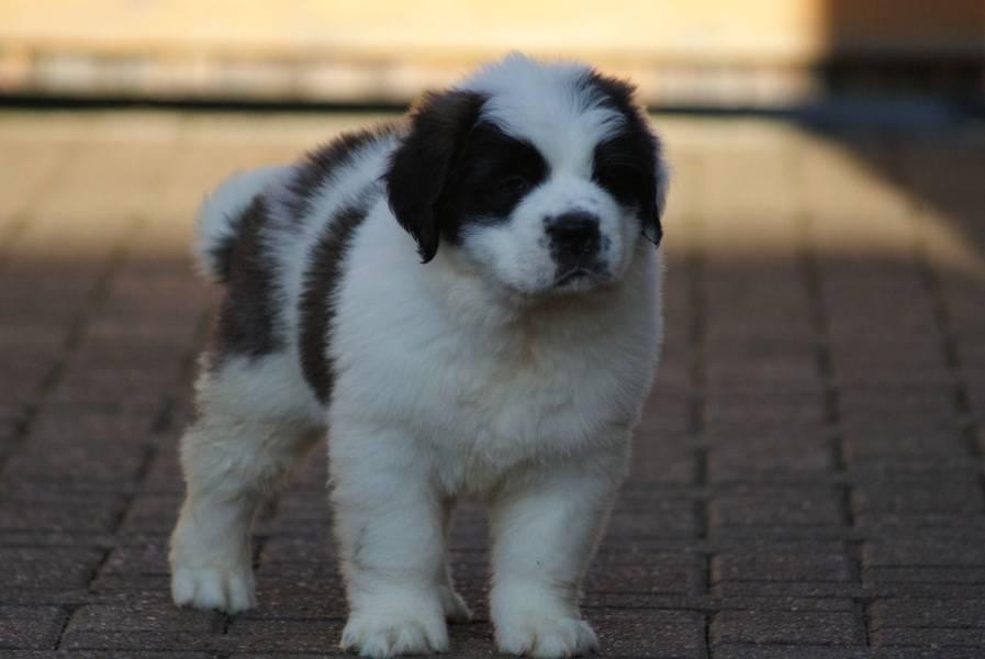 Kvalitetni šteneti plavih očiju STAINT BERNARD Spremni odmah