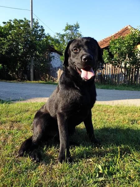 Labrador retriver slobodan za parenje