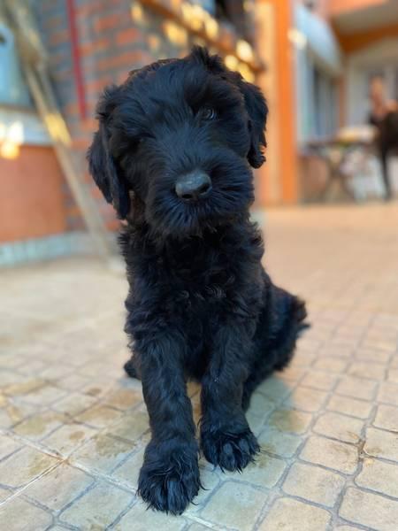 Black Russian Terrier PUPPY  –  Crni Ruski Terijer ŠTENCI