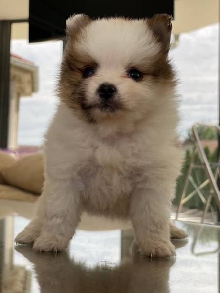 Prodajem štene špic pomeranca Boo