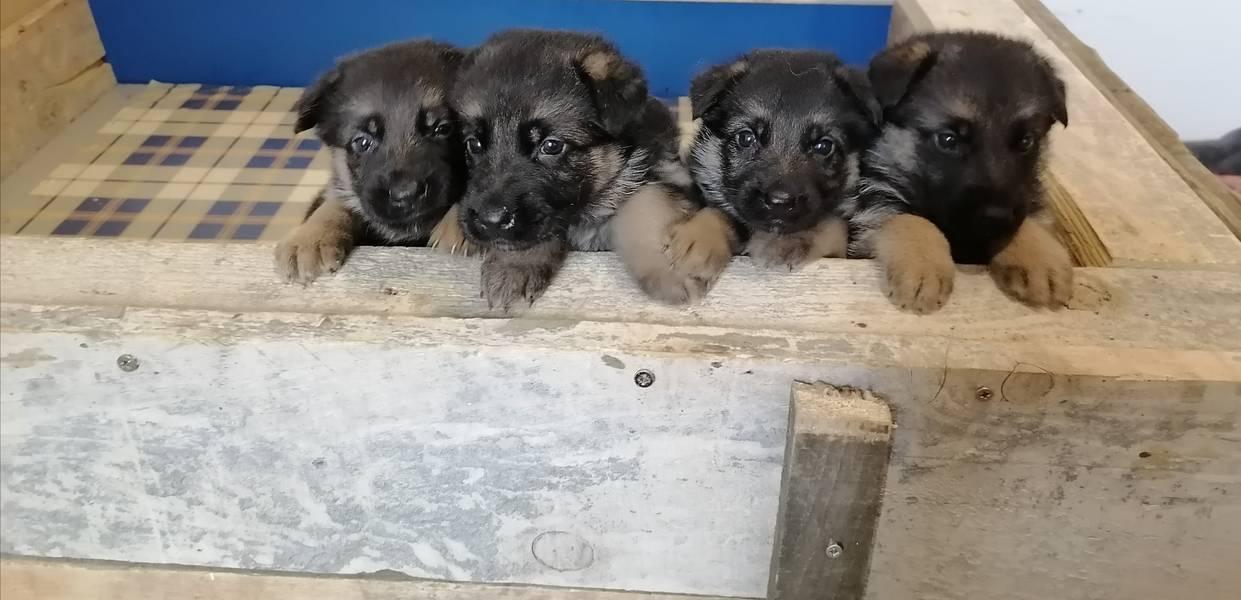 štenci nemačkog ovčara