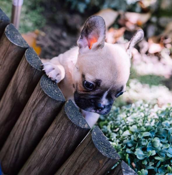 Prelepi Francuski štenci na prodaju