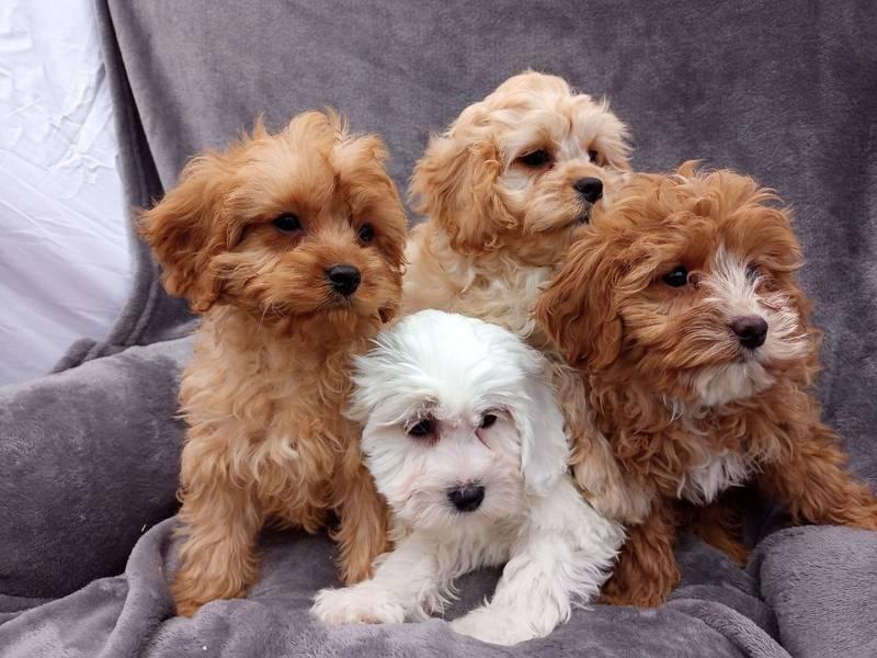 Cavapoo štenci