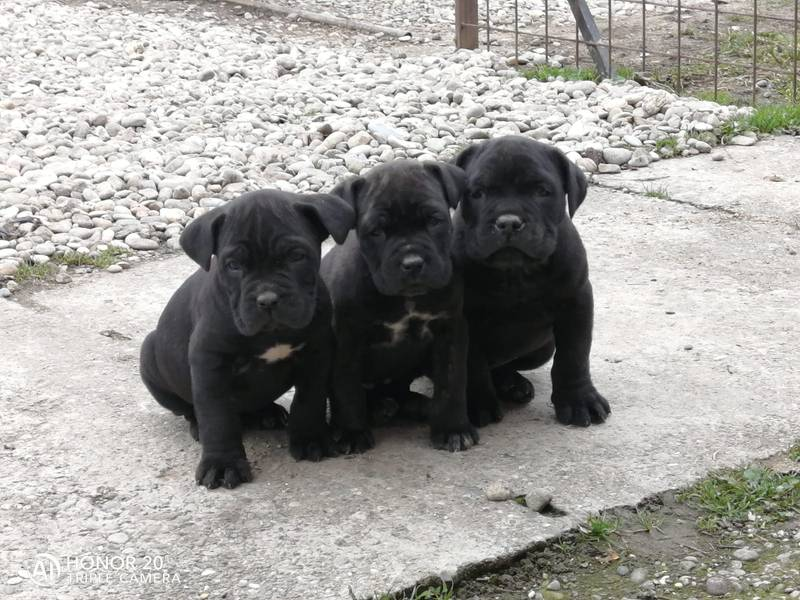 Na prodaju štenci Kane korso