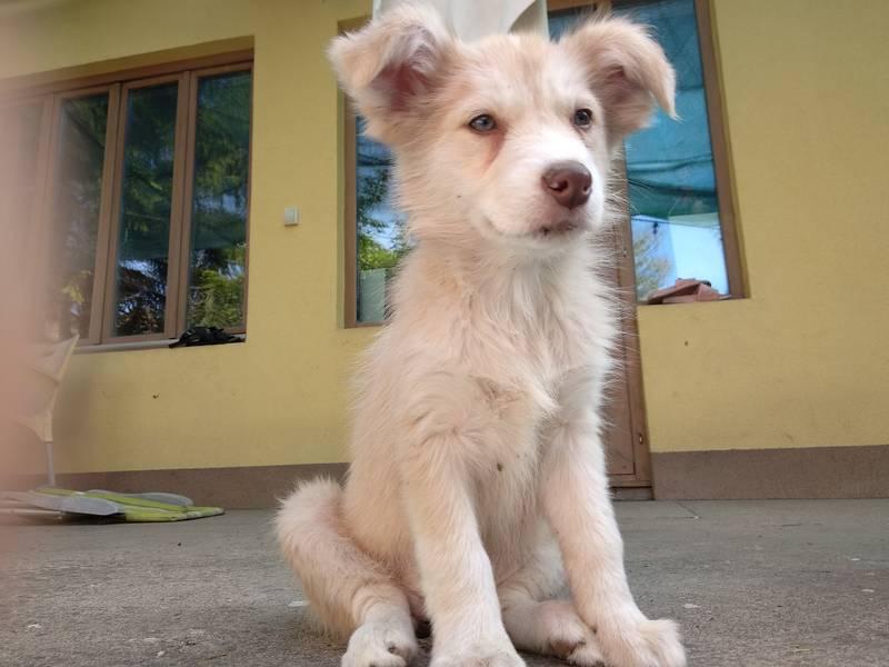 Border koli štenci prodaja Subotica