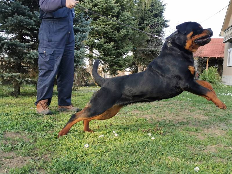 ROTEWEILER