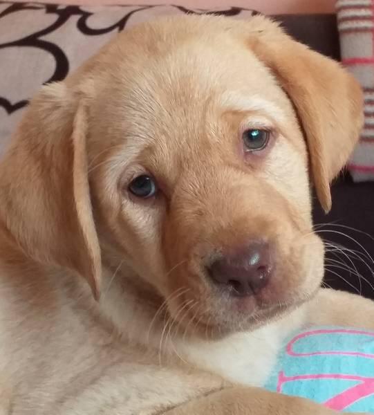 Šampionsko žensko štene labrador retrivera