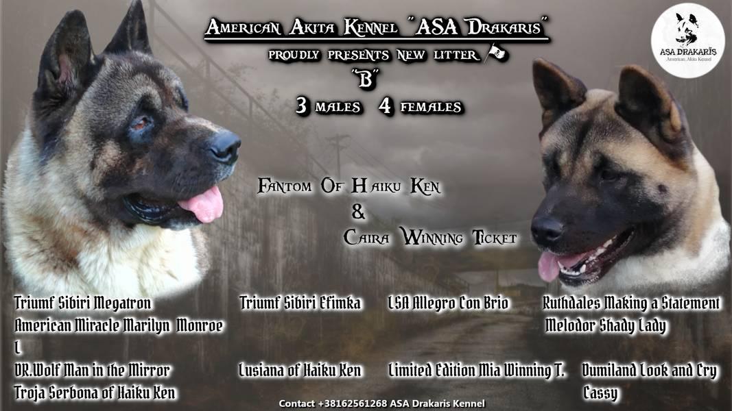 """Američka Akita štenci leglo """"B"""""""