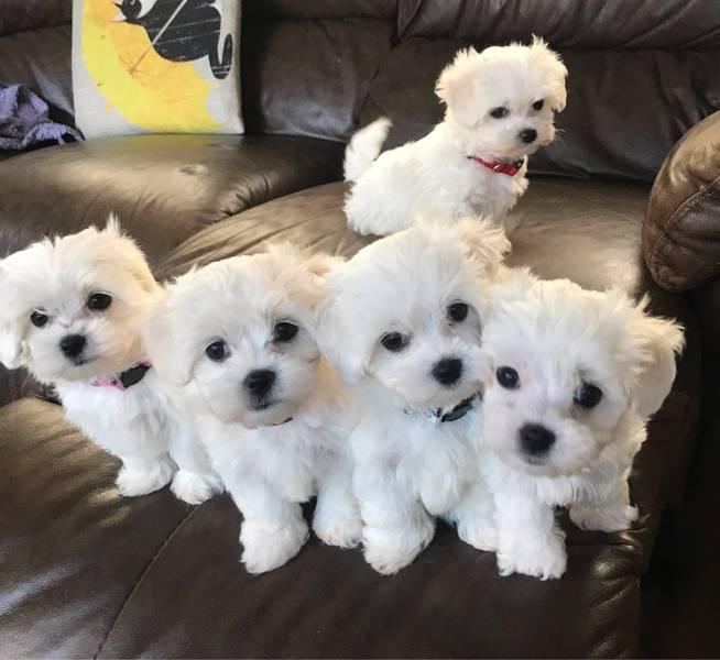Malteški štenci na prodaju