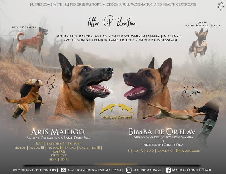 Na prodaju štenci Belgijskog ovčara -Mailigo Kennel