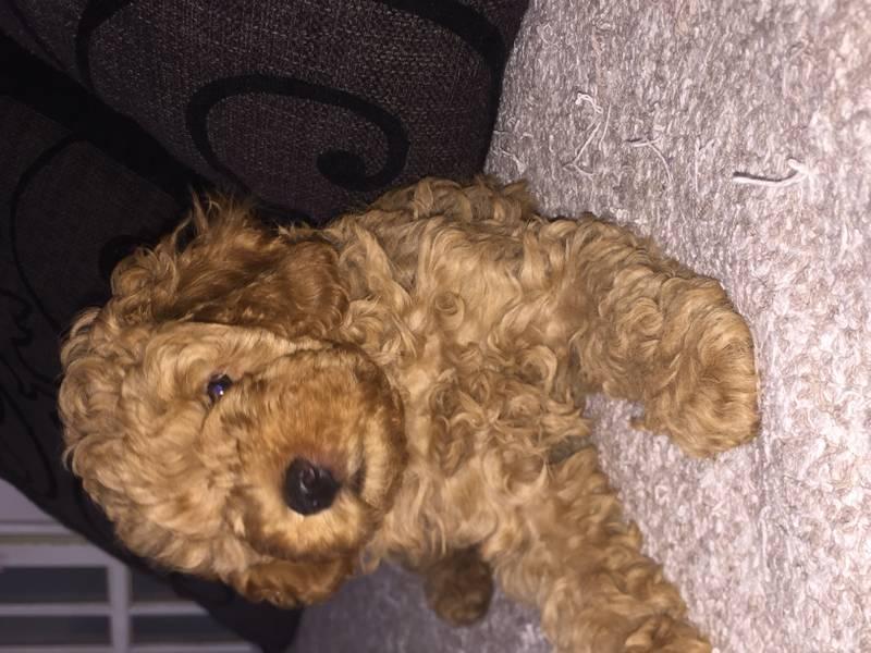 Prodajem muško štene francuske patuljaste pudle