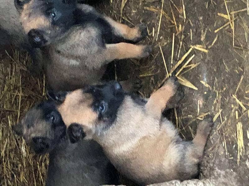 Stenci Belgiskog ovčara