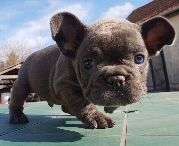 Na prodaju super slatki štenci francuskog buldoga