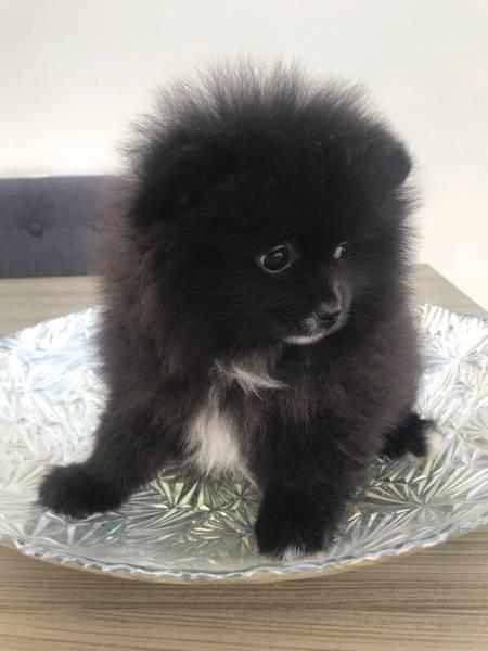Čista šolja bijelog čaja Pomeranian za prodaju