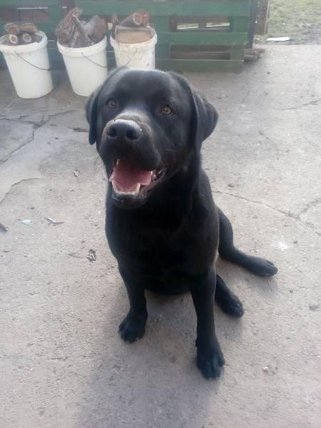 Crni labrador za parenje Novi Sad-Sirig-Temerin