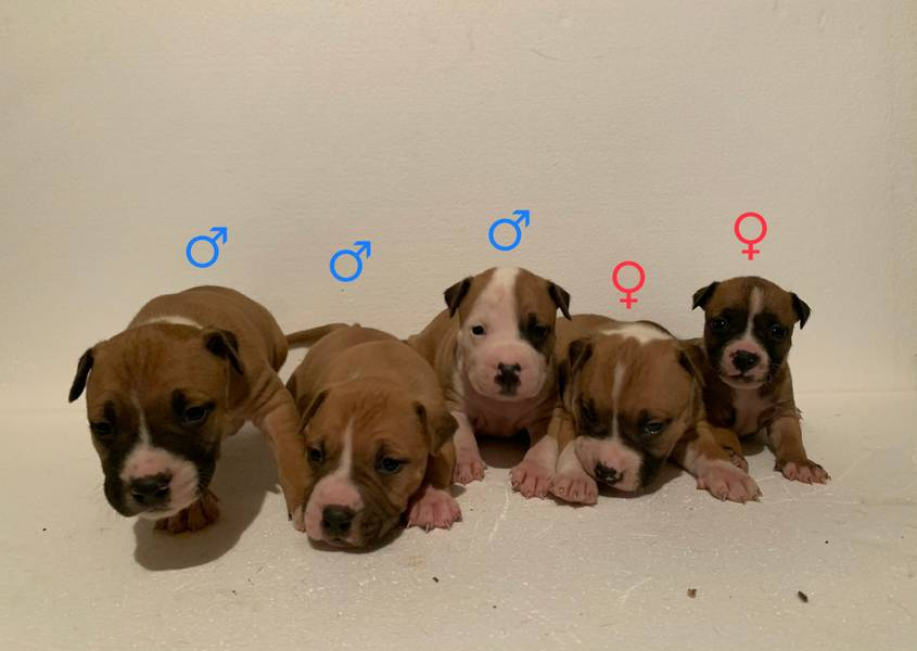 Američki staford štenci