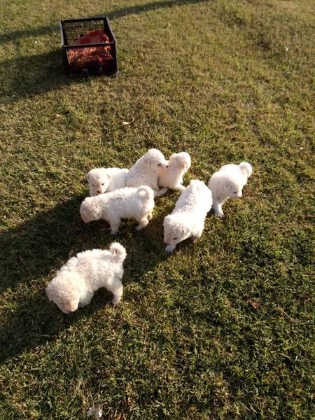 Puli štenci