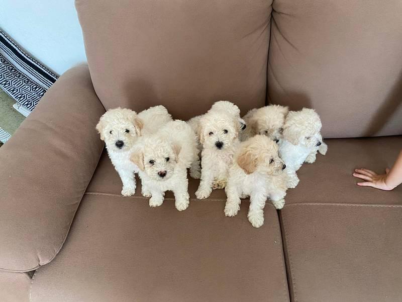 Srednja pudla štenci