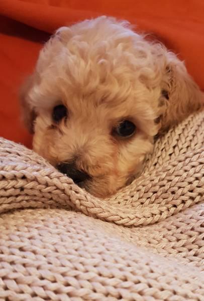 Pudla patuljasta, muško štene
