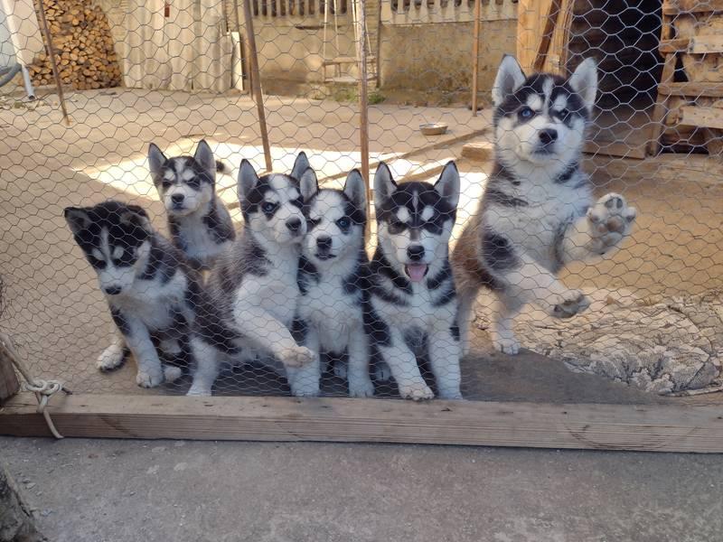 Čistokrvni štenci haskija